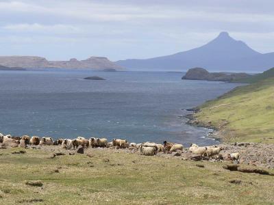 Moutons Bizets sur l'île longue